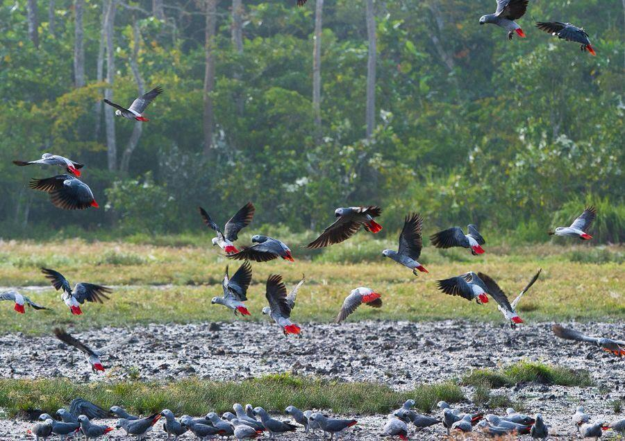 African Grey Parrot Habitat