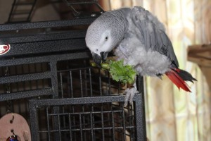 African Grey Parrot feeding