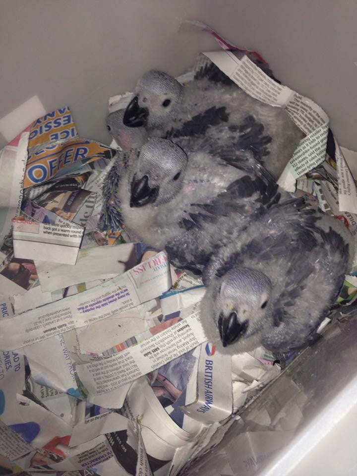 Hatching in African Grey Parrot