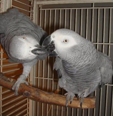 Breeding African Gray Parrots