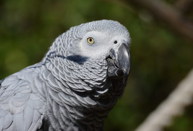 Health Signs in African Grey