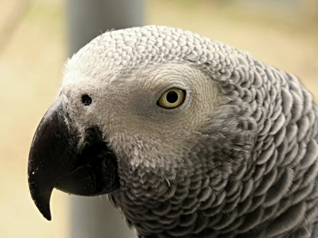 Signs of Illness in African Grey