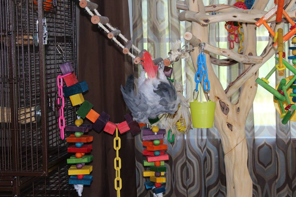This African Grey is really enjoying with these toys and ladder.
