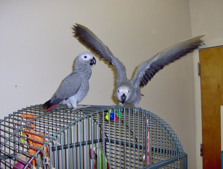 A Picture of Male & Female African Grey Parrots